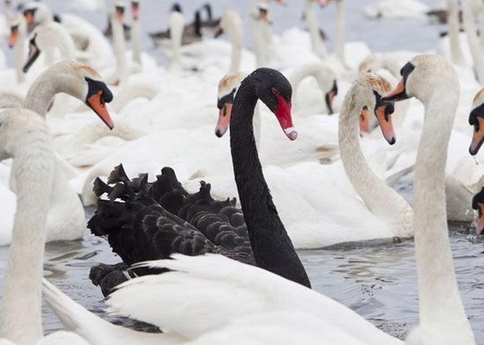 blackswan-forexthink